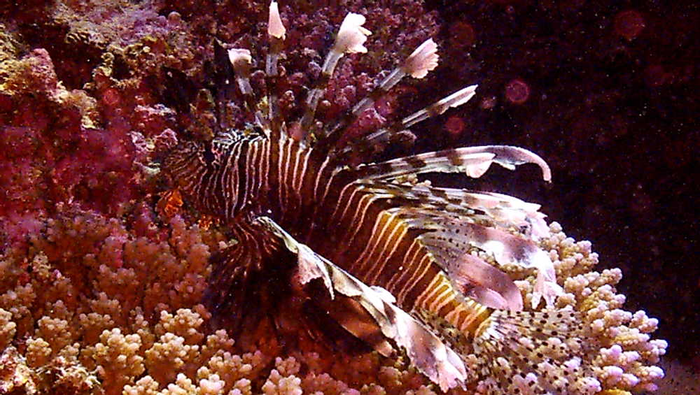 pesce-leone-mar-rosso