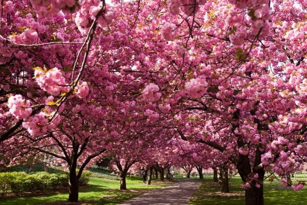 Hirosaki-città-fiori-ciliegio-3