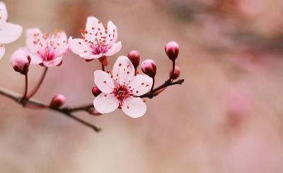 Hirosaki-città-fiori-ciliegio-4