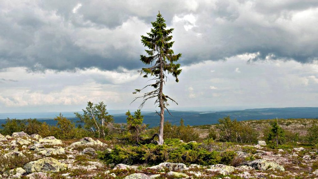 l'albero più vecchio del mondo