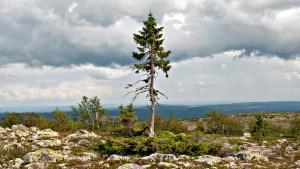 Svezia – Tjikko, l'albero più vecchio del mondo ha 9500 anni!