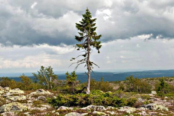 svezia-albero-piu-vecchio-del-mondo-3